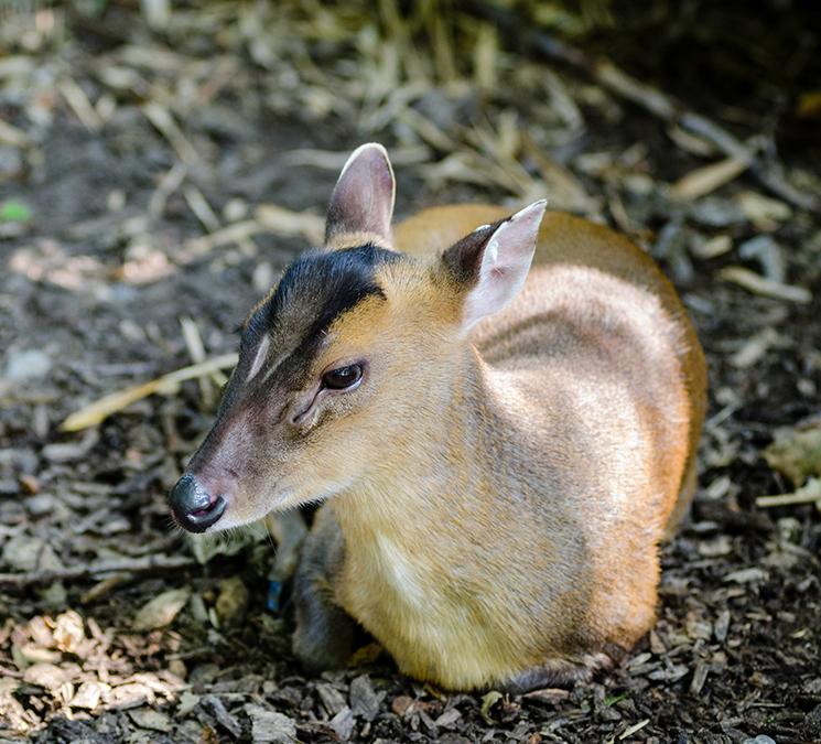 Muntjak Deer