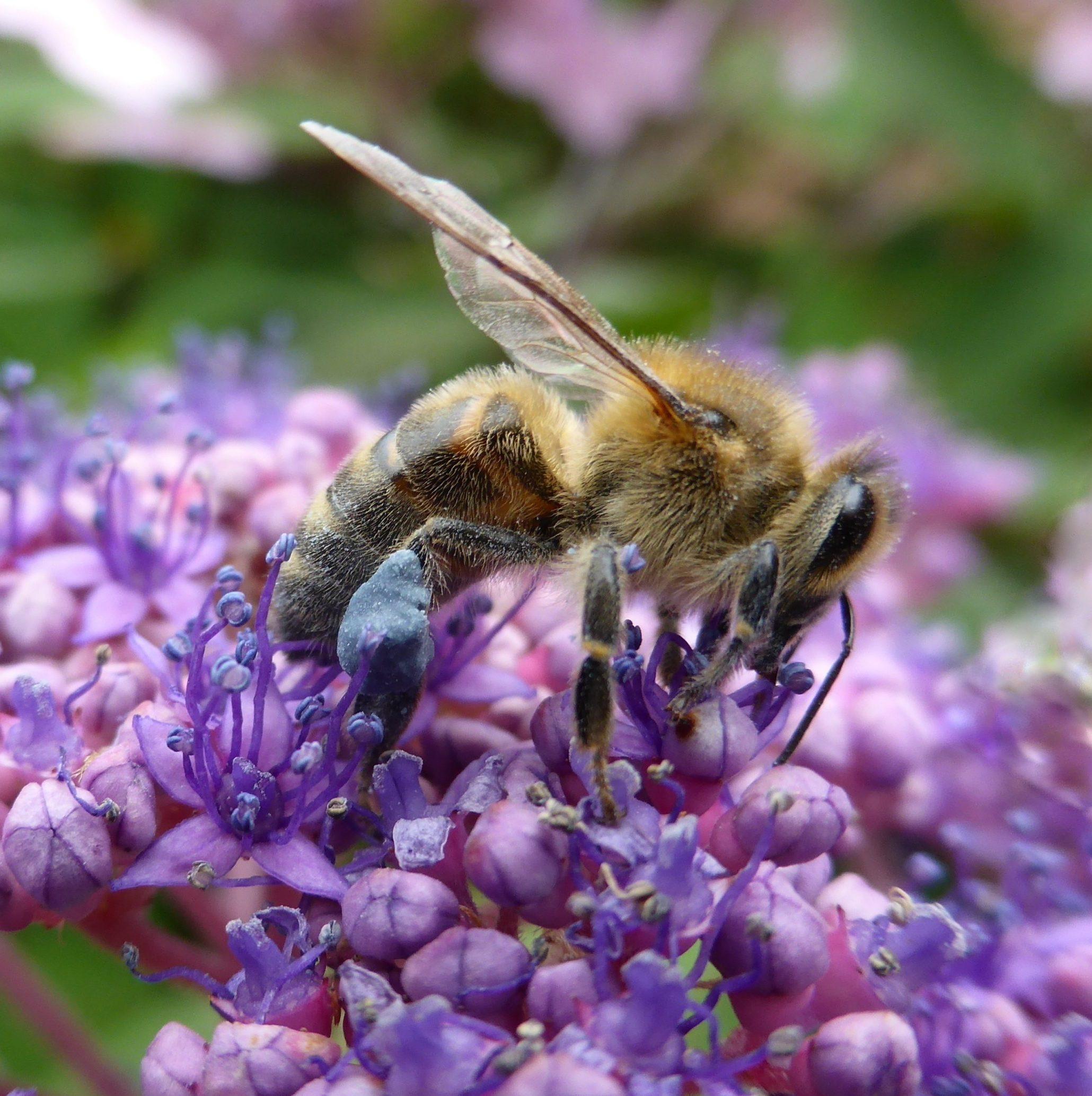 Worker bee collecting pollen on Hydrangea aspera