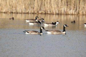 Canada Geese at Wyke Farm
