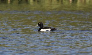 Tufted Duck on the lake at Wyke Farm